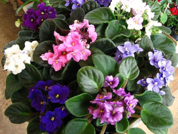 violeta3.jpg