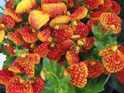 calceolaria.jpg