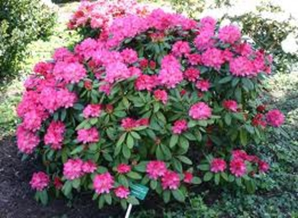 Rododendron.jpg