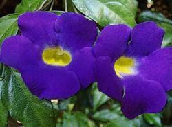 Tumbergia Erecta.jpg