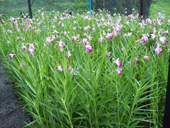 Orquidea Bambu.jpg