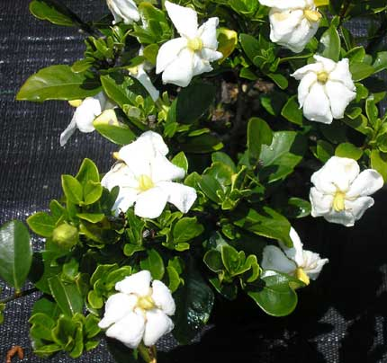 gardenia_a (1).jpg