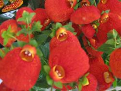 calceolaria3.jpg