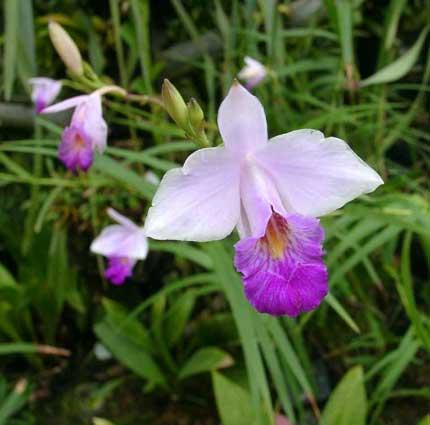 orquidea_bambu_a.jpg