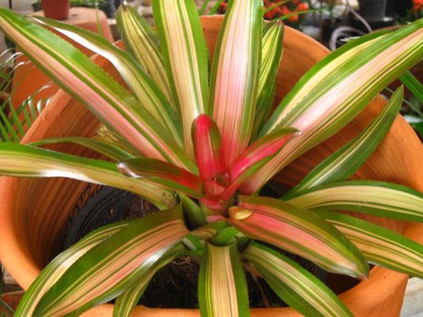 bromelia-tricolor.jpg