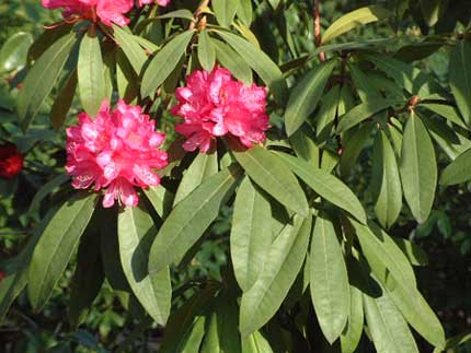 rododendro_a.jpg