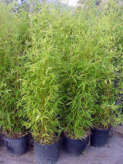 bambuzinho_a.jpg