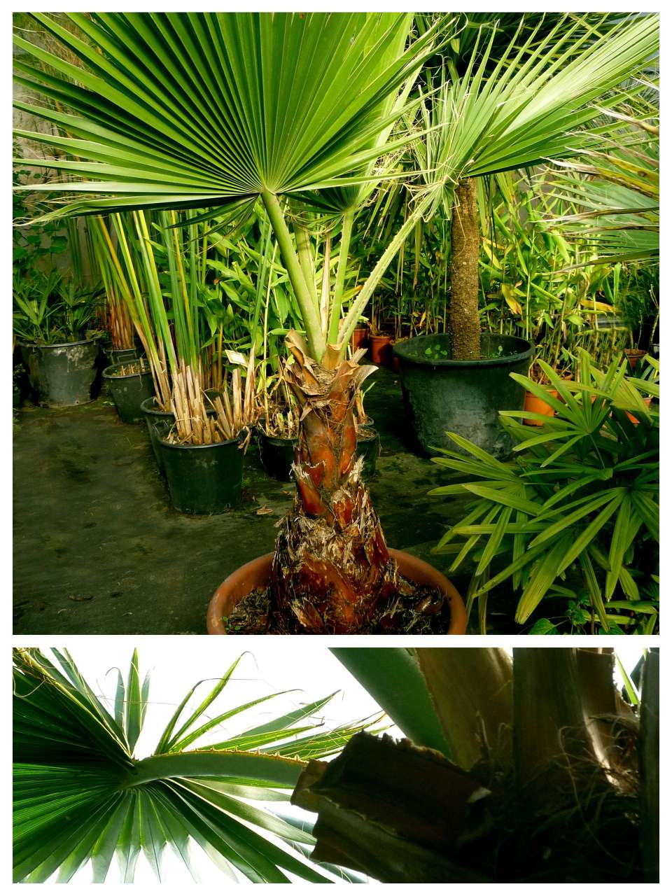 Washingtonia Filiféra