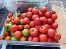 Gene s TomatoesIMG_20210807_093459 (1).jpg