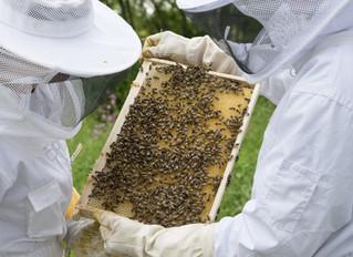 Servicio de Rescate de enjambres de abejas y retirada de avisperos
