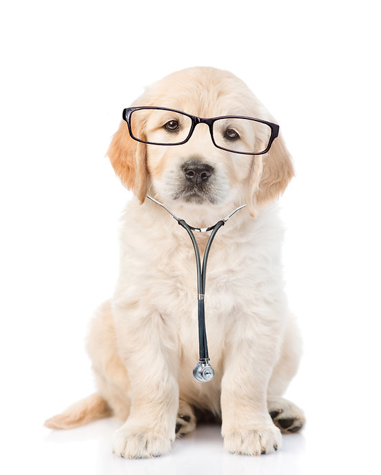 Golden retriever with a glasses and stet