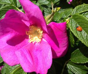 Rosehip rose