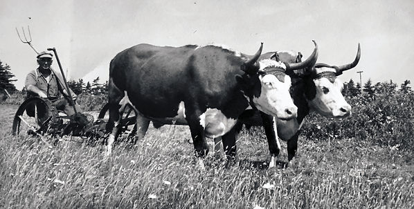 George Morrell et son attelage de bœufs tirent du bois avec son traîneau