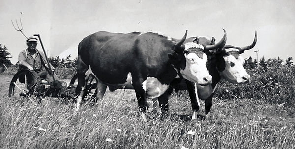 George Morrell and his team of oxen