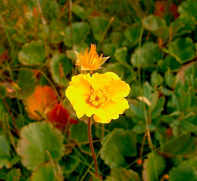 Eastern Mountain Avens