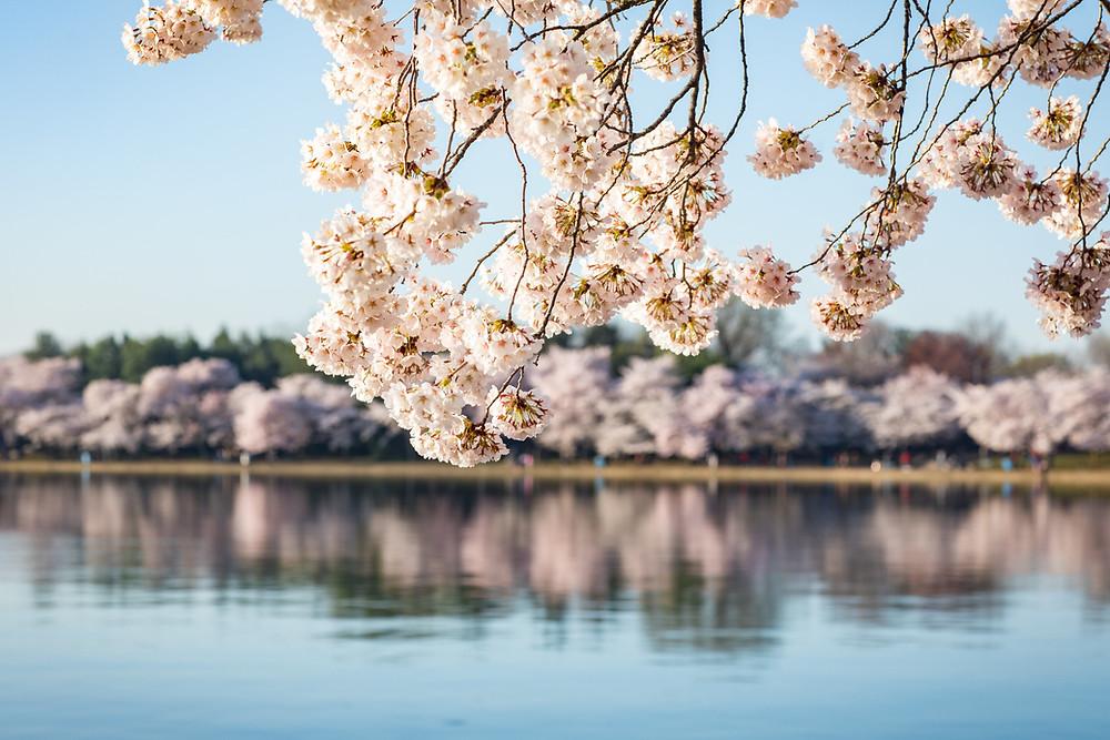 National Cherry Blossom Festival 2021 – Une édition virtuelle