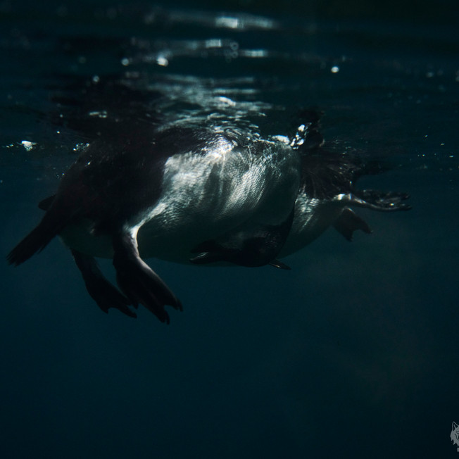 Pinguine im Wasser