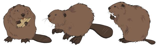 Beavers. Evolutionary Traits