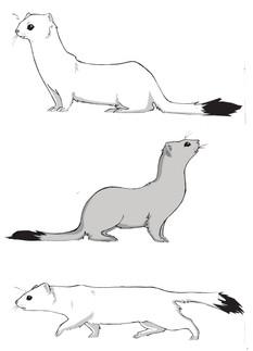 Ermins. Evolutionary Traits