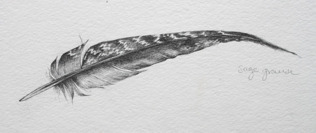Sage Grouse feather