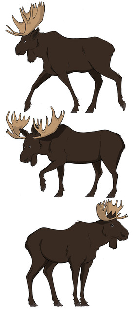 Moose. Evolutionary Traits