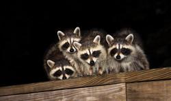 Four Cute Baby Raccoons On A Deck Railing.jpg