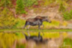 Yellow Stone Moose