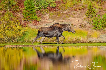 Yellow Stone Moose