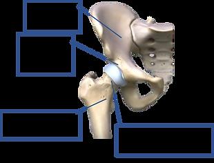 股関節の仕組み.png