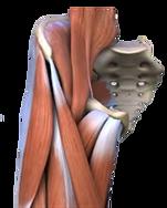 股関節と筋肉.png