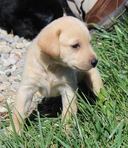 Cooper x Gabby pup (1st litter)