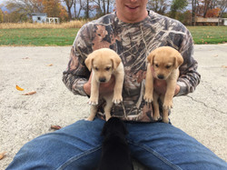 Yellow males at 5 weeks (Cooper x Gabby)