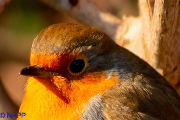 Robins NAPP-9660.jpg