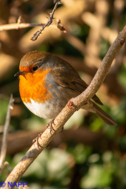 Robins NAPP-9654.jpg