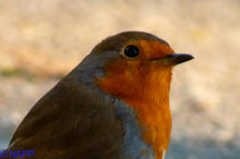 Robins NAPP-9652.jpg