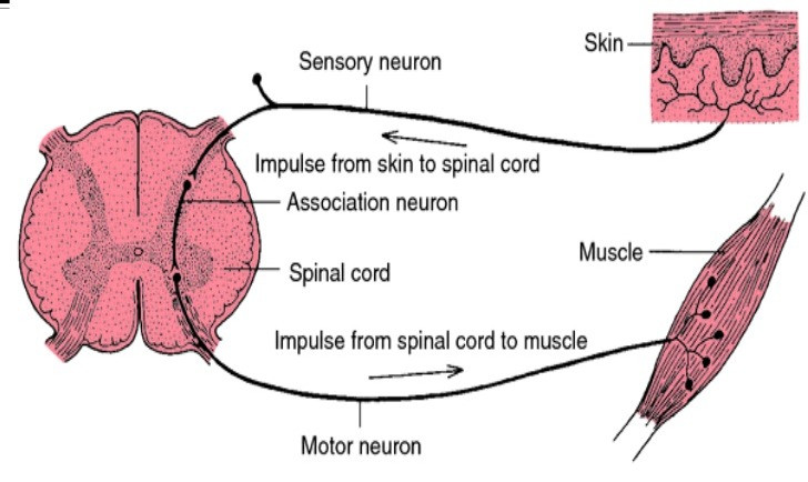 Hoffman Reflex - how affecting the skin can affect the muscle via neural excitability