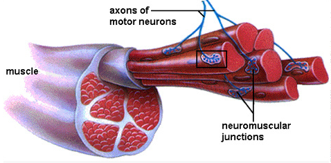 Example of Motor Neurons and muscle activation