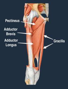Chronic groin pain anatomy rehab