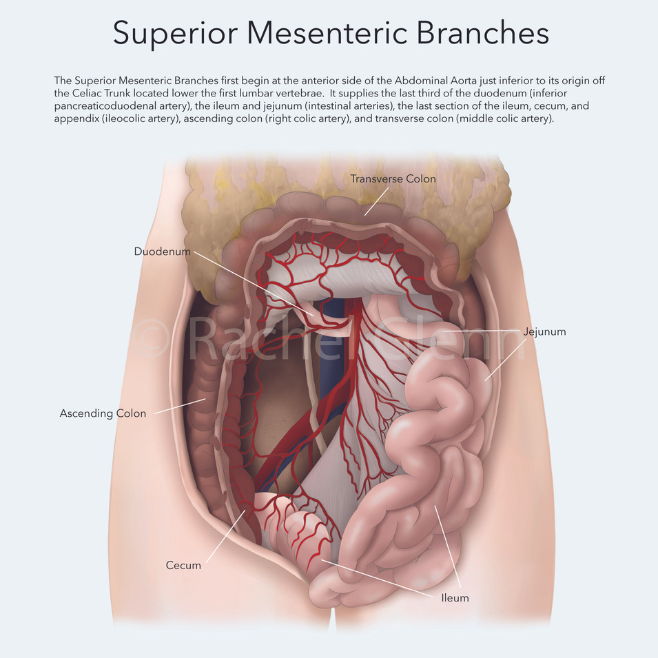 Superior Mesenteric Branches Second Style