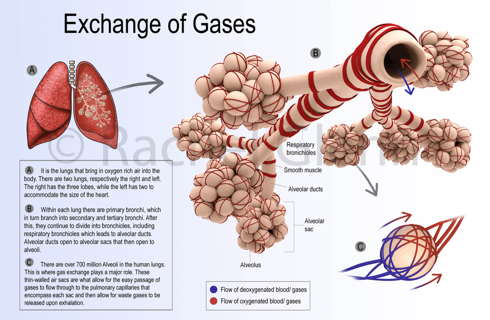 Exchanges of Gases