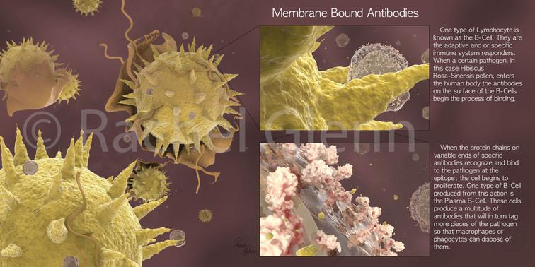 Membrane Bound Antibodies