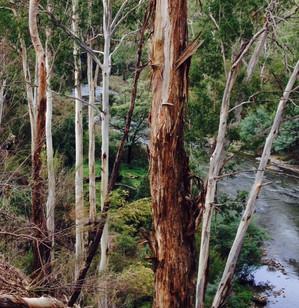Green, Judy - Ecalypts Over the River.jpg