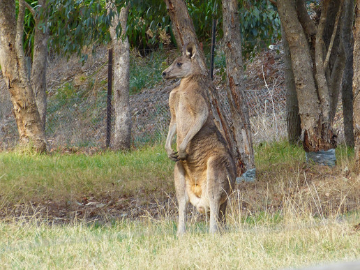 Vittorio, Donna - Kangaroo in the garden.jpg