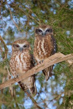 Watts, Gail - Boobook Owls, Osborne Penisula, Nth Warrandyte.jpeg