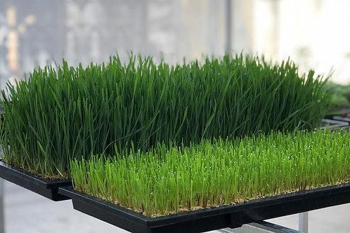 Microgreens Wheatgrass 1 Tray by Bali Benih