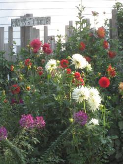 Cichorski garden