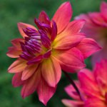 How to Grow More Amazing Dahlias Than Your Neighbors