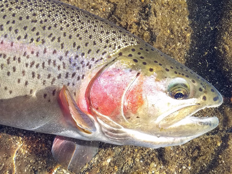 Truckee Tahoe Area Fly Fishing Report December 13th, 2019
