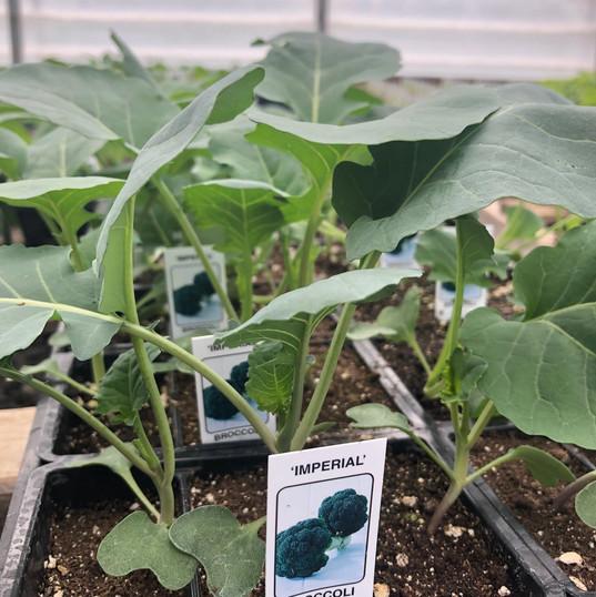 Broccoli 'Imperial'
