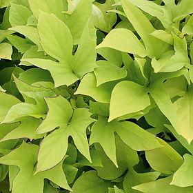 Ipomea Sweet Caroline Light Green